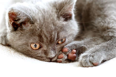 Blue british shorthair kitten is relaxing and watching. Gray cat curled up with opened eyes