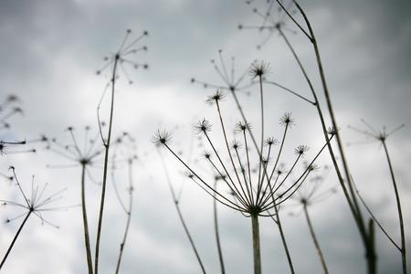 cicuta: Hemlock o Conium maculatum en la naturaleza