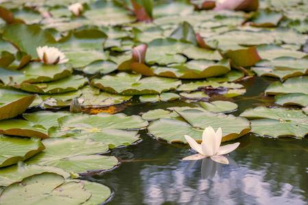 spiritualism: Lotus lake