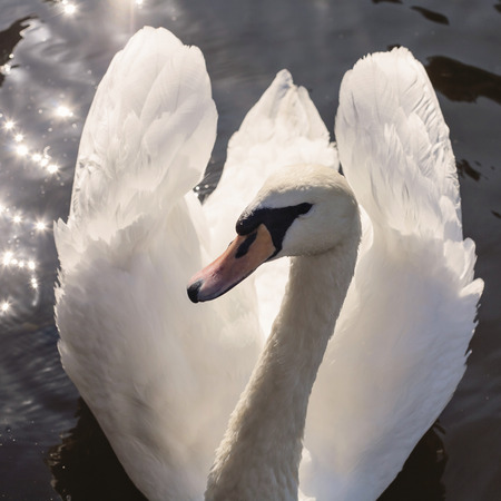 Swan on Vltava river in Prague, Czechia Stock Photo