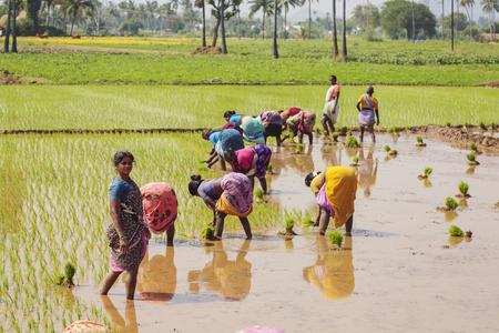 Arunachala in Tiruvannamalai, Tamil Nadu, India, January 30, 2018: women working at paddy field