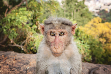 Pequeño mono macaco Rhesus en la montaña Arunachala en Tiruvannamalai, Tamil Nadu, India Foto de archivo