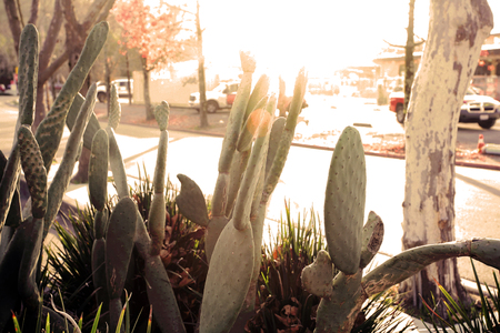 Cactuses on the street