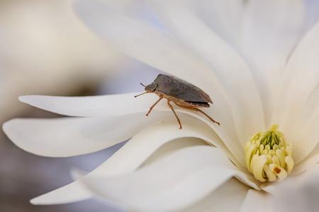 Heteroptera bug on white spring blossom, Box Bug (Gonocerus acuteangulatus)