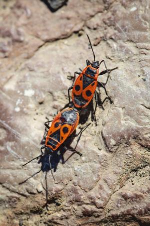 European firebug, Pyrrhocoris apterus, couple mating