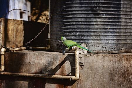 Indian Ringneck Parakeet parrot on the street Stock fotó - 128569088