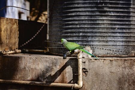 Indian Ringneck Parakeet parrot on the street