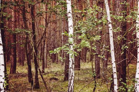 detail of mixed forest with birches and bushes Stock fotó