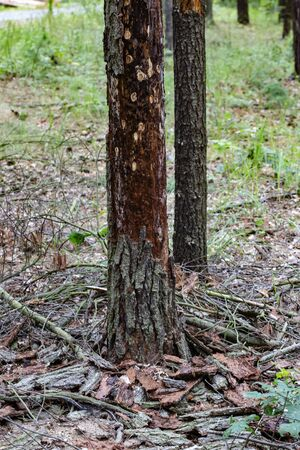 Tree attacked by bark beetle