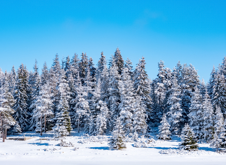 Winter pine forest nature background Stockfoto