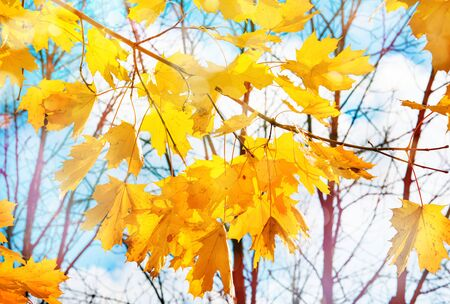 Autumn nature background with maple branches 版權商用圖片