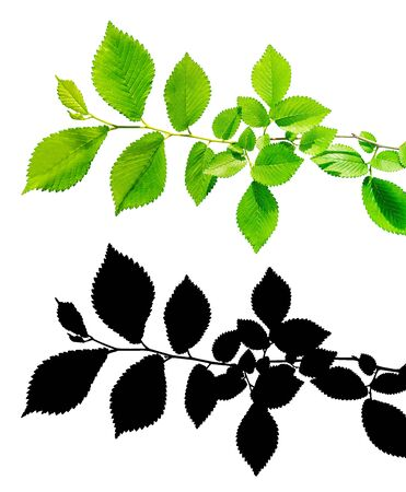 Branch of tree with green leaves  isolated with clipping path and alpha channel
