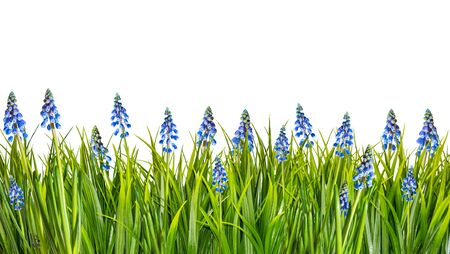 spring border with blue muscari flowers and green grass isolated on white background