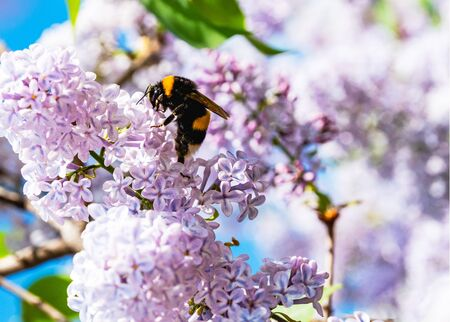 Bumblebee on lilac flowers. Spring nature background Banco de Imagens