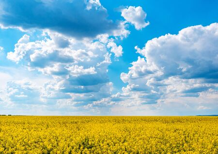 Yellow rapeseed field and blue sky with clouds on a sunny day Banco de Imagens