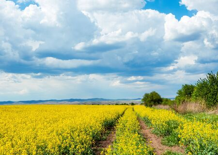 Beautiful spring landscape with road in yellow blooming rapeseed field in sunny day
