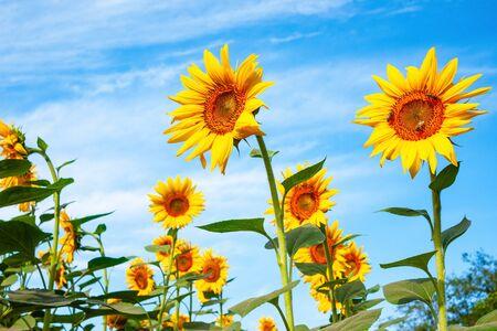 Sunflowers against blue sky Stockfoto