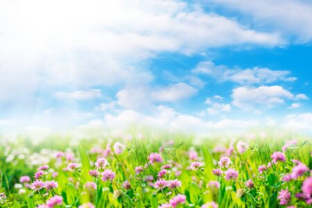 Clover flowers in green field with sunshine. Spring or summer natural landscape with blue sky and white clouds