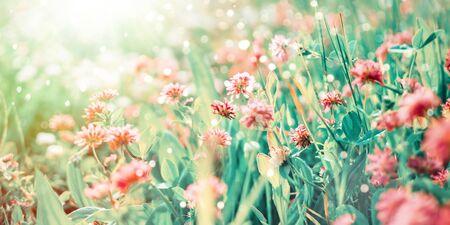Wildflowers of clover in rays of sunlight Stockfoto