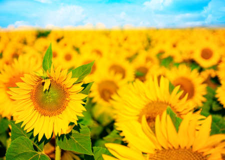 Flowering sunflower in the field Stockfoto