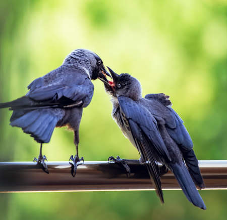 jackdaw feeds his chick
