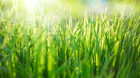 Nature background with green grass and sun