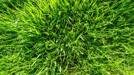 Spring or summer nature background with green grass
