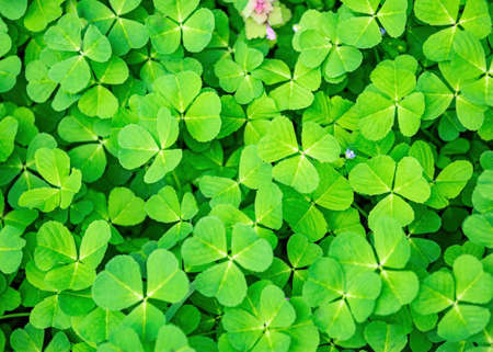 Spring green clover grass background Stockfoto