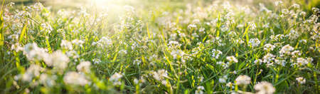 Spring or summer nature background with green grass and wild flowers