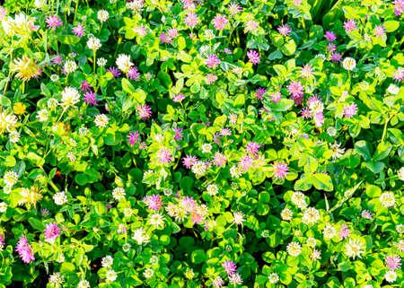Spring green clover grass and flowers background Banco de Imagens