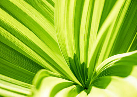 Green leaf abstract background. Veratrum, False Hellebore texture closeup