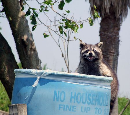 Racoon foraging for food in trash barrel Stock Photo