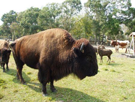 Bison at a wildlife ranch Stok Fotoğraf