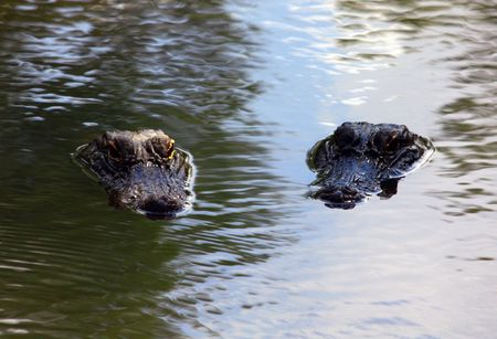 A Pair of Alligators