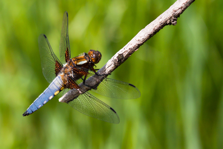 libellula: Broad-bodied Chaser Libellula depressa Stock Photo