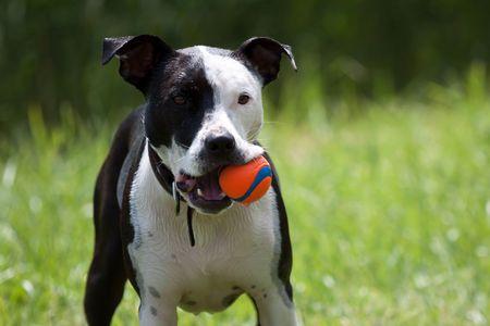amstaff: Amstaff dog with a ball Stock Photo