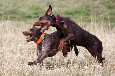 shorthaired: Shorthaired pointer doberman playing with the