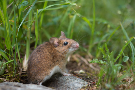 Mouse in the meadow