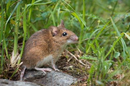 Mouse in the meadow Standard-Bild - 121237282