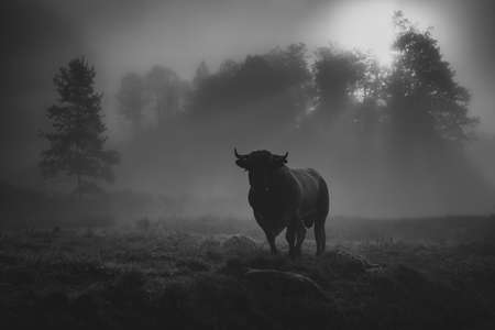 bull in the morning mist with sun rays
