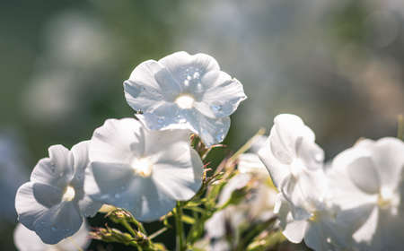 close up of withe flowers with dew drop Stock fotó