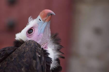Vulture looking at the sky Imagens