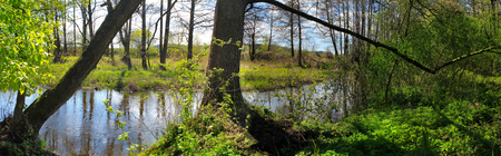 alder tree: Panoramic image of the river in the forest.