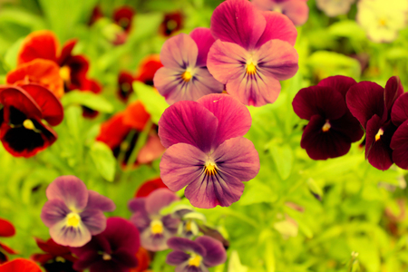 glades: Pink and purple pansies on a green background. Stock Photo