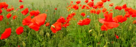 garden cornflowers: Flowering red poppies in the green wheat field.