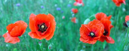 Flowering red poppies in the green wheat field.
