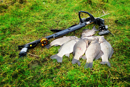 Spearfishing. Large carp on the green grass. Stock Photo