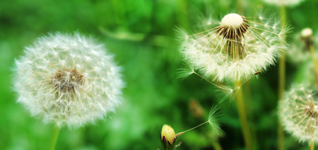 Panoramic image of white fluffy dandelion on a green background in the garden. Stock Photo