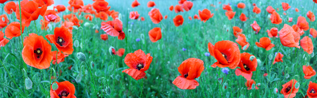Panoramic image of red poppies on a green field