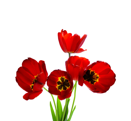 Bouquet of red tulips isolated on white background. Stock fotó